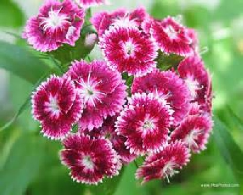 دانلود پروژه بررسی عوامل موثربر توليد و نگهداری گل میخک